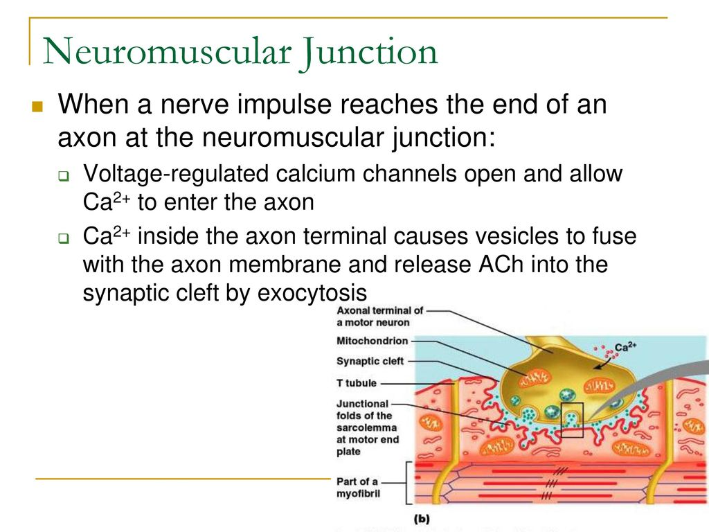 during neuromuscular transmission the axon terminals release __________