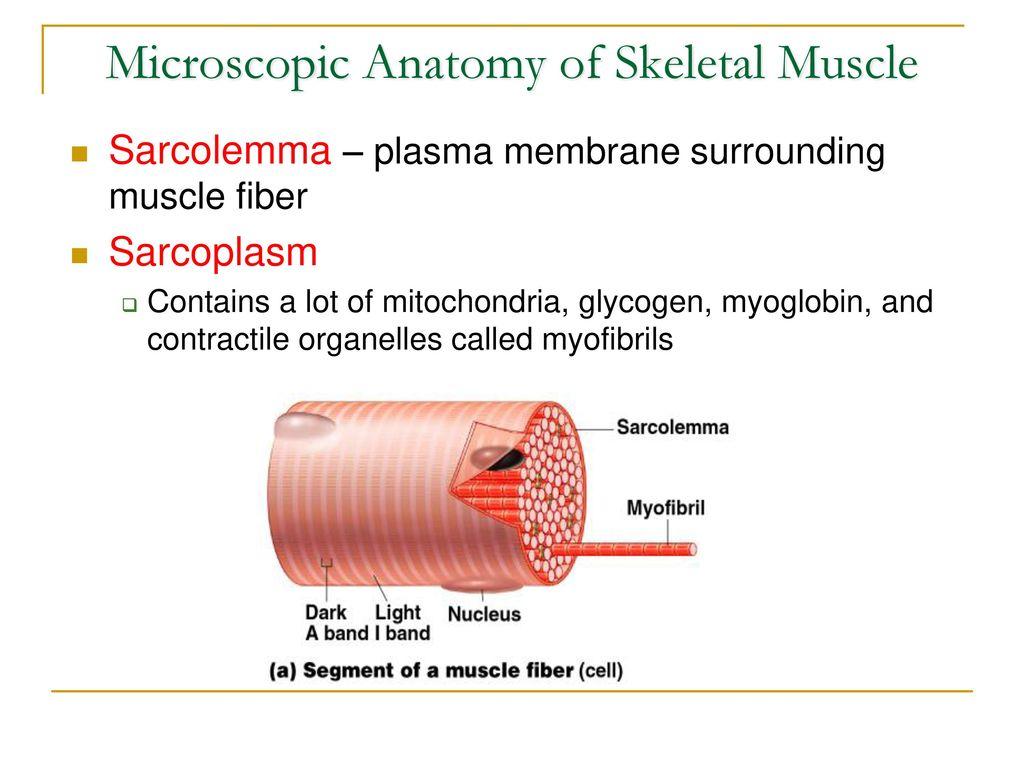 Skeletal Muscle Tissue - ppt video online download
