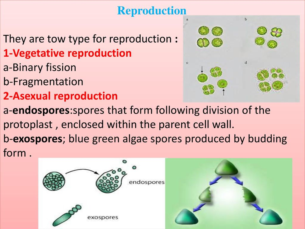 2 types of asexual reproduction in algae