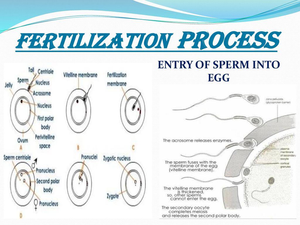 Mature mommies egg and sperm fertilization process pussy pic mandera