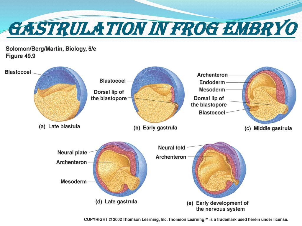gastrulation in frog and chick