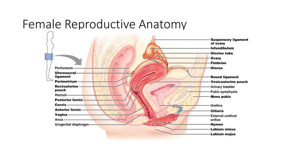 Fantastic Posterior Fourchette Anatomy Motif - Anatomy And ...