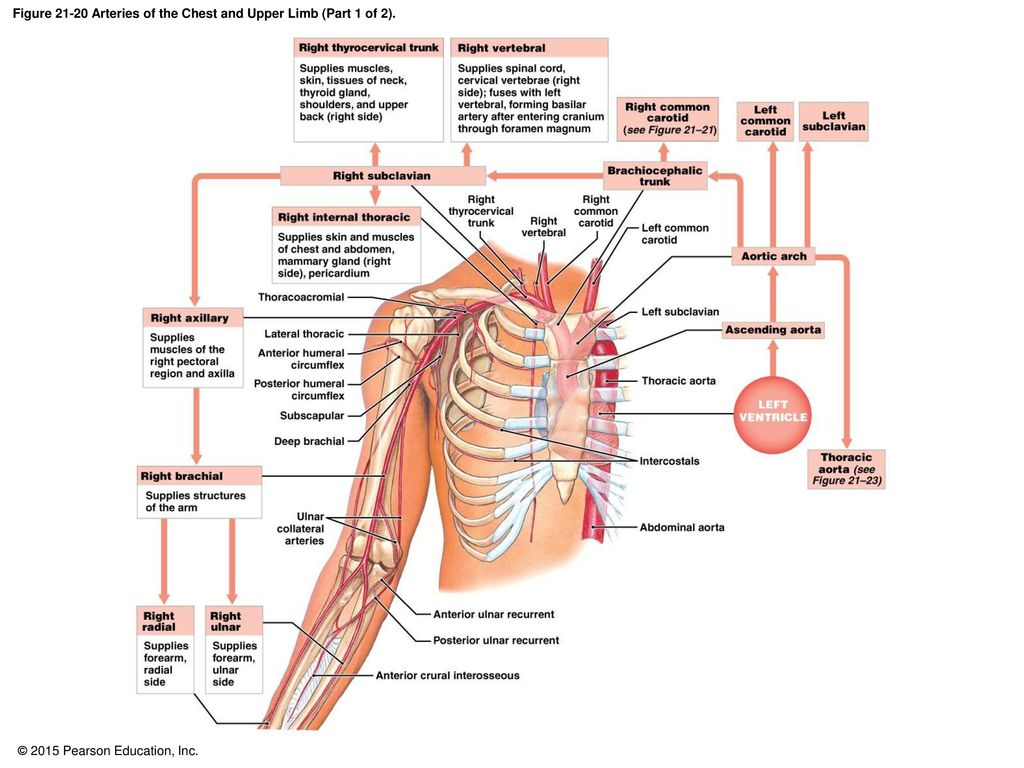 21-1 Classes of Blood Vessels - ppt download