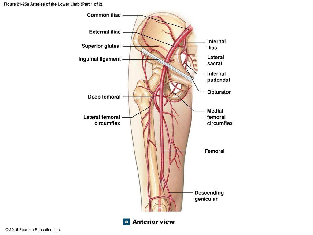 Labeled Diagram Of The Arteries In Legs Leg Vessel Diagram Wiring