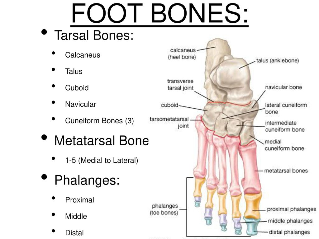 Foot Ankle Ppt Download