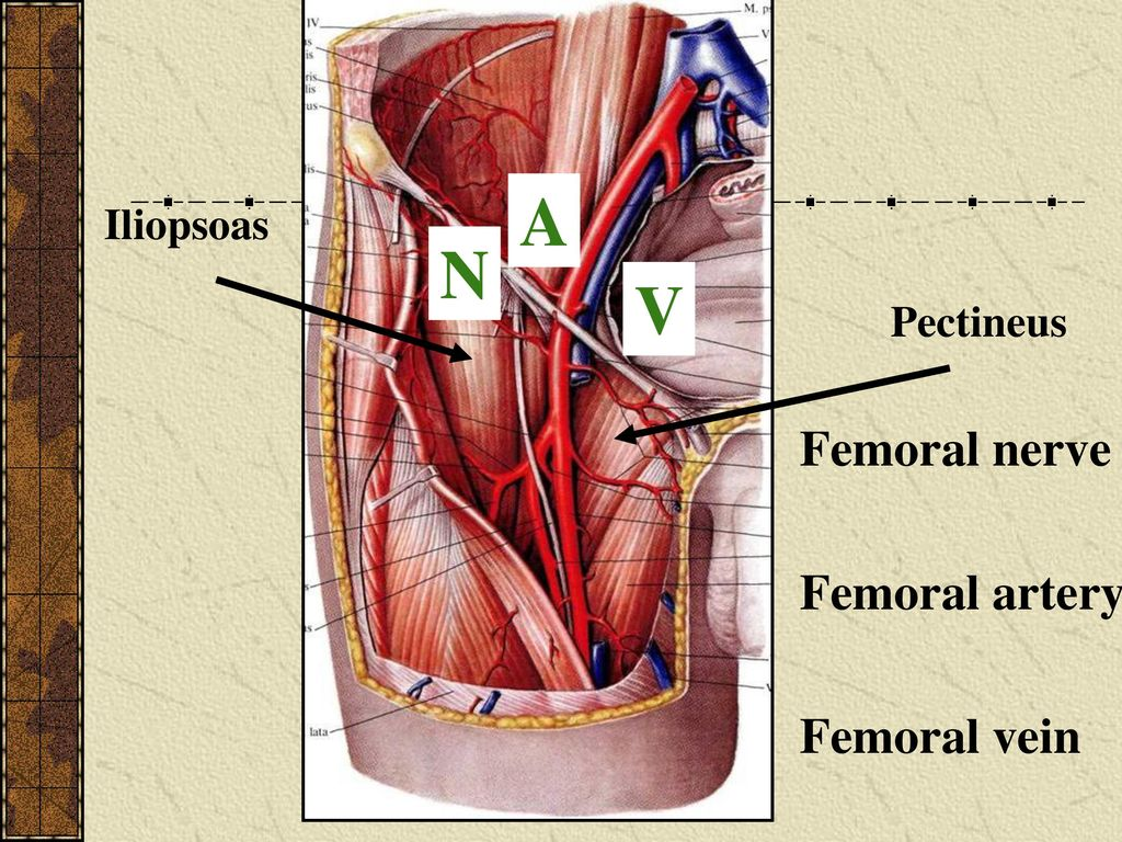 Topographical anatomy of limbs - ppt video online download