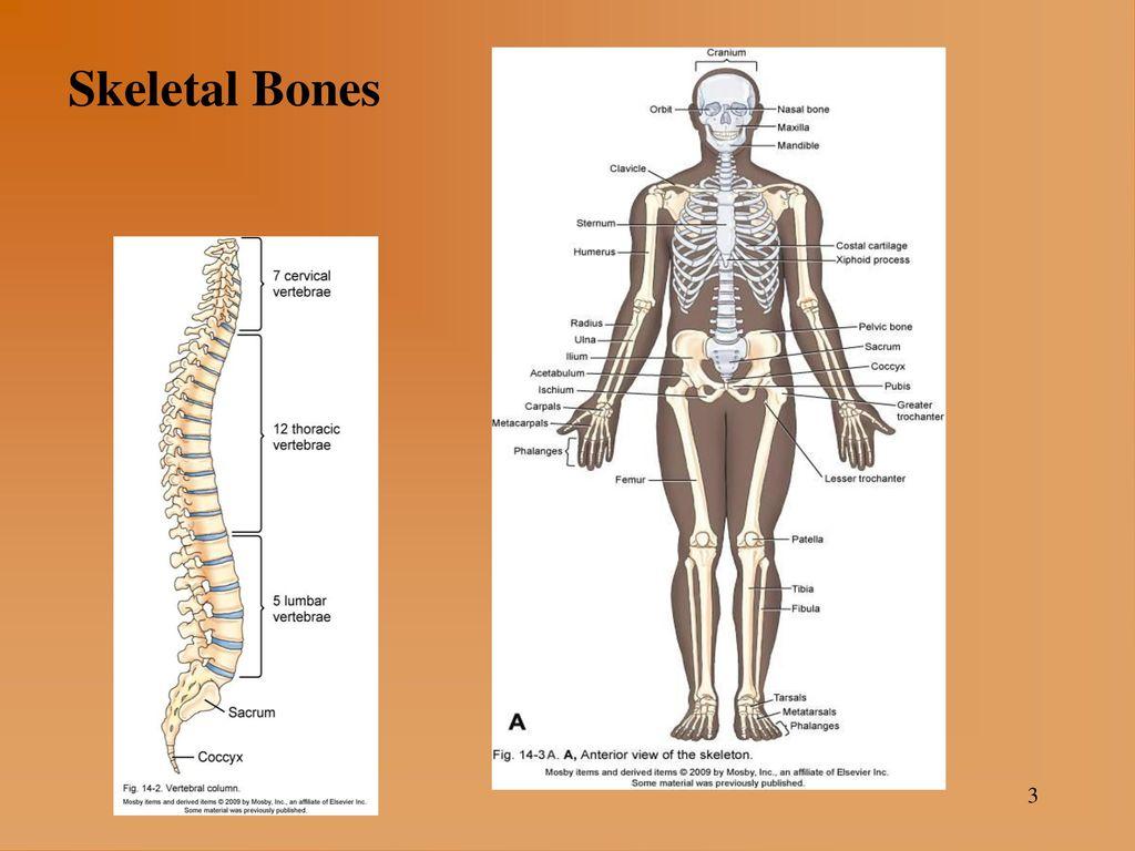 musculoskeletal system  3 skeletal bones 3