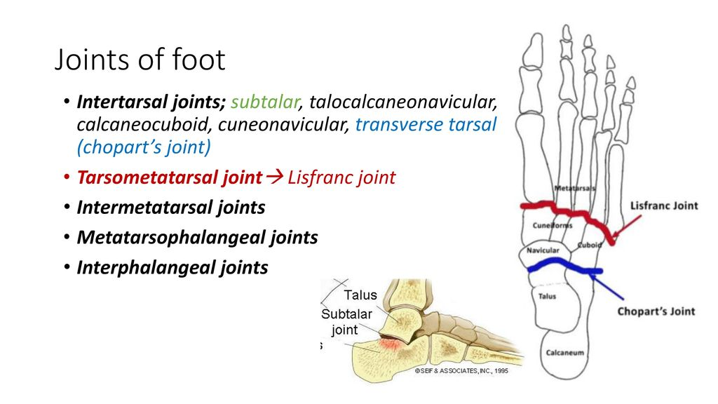 Foot & ankle anatomy By: Fatemeh Javadi. - ppt download