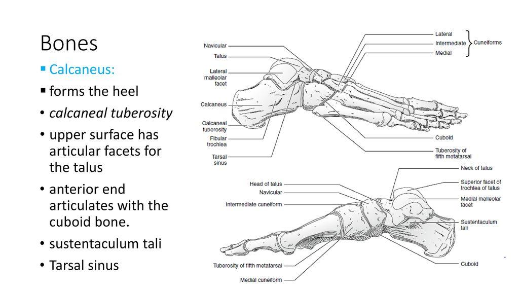 Modern Calcaneus Bone Anatomy Ensign - Anatomy And Physiology ...