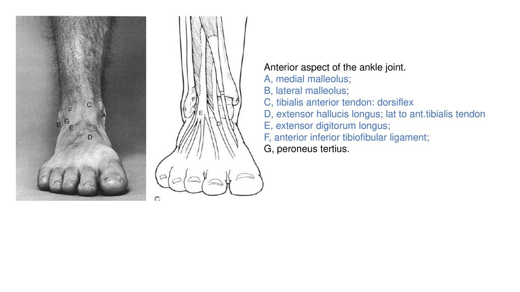 Foot Ankle Anatomy By Fatemeh Javadi Ppt Download
