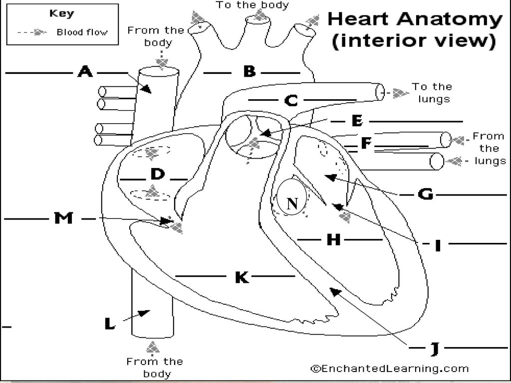 Chapter 13 Heart. - ppt download