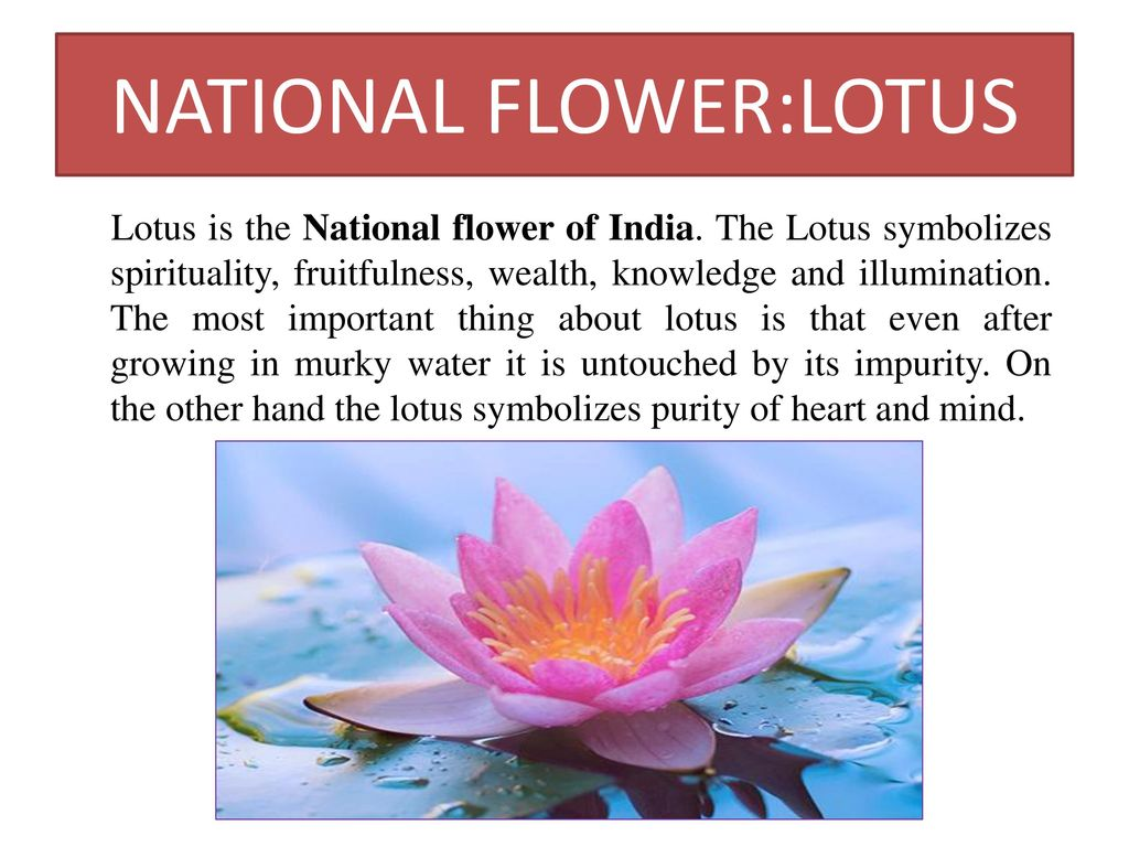 Why Lotus Became National Flower Of India Flowers Healthy