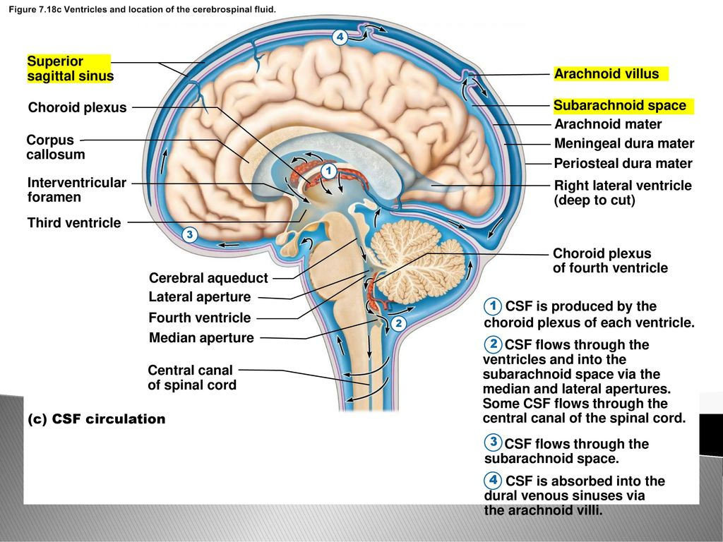 Protection of the Central Nervous System - ppt download