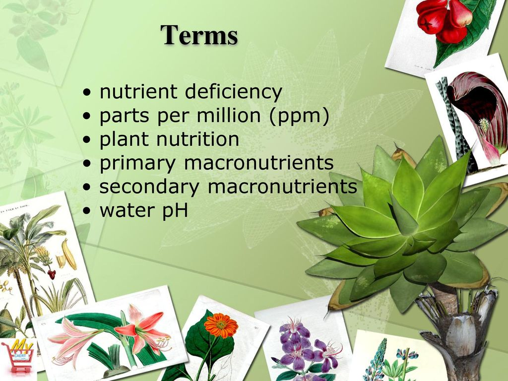 Hydroponic Science Supplying Nutrients to Crops - ppt download