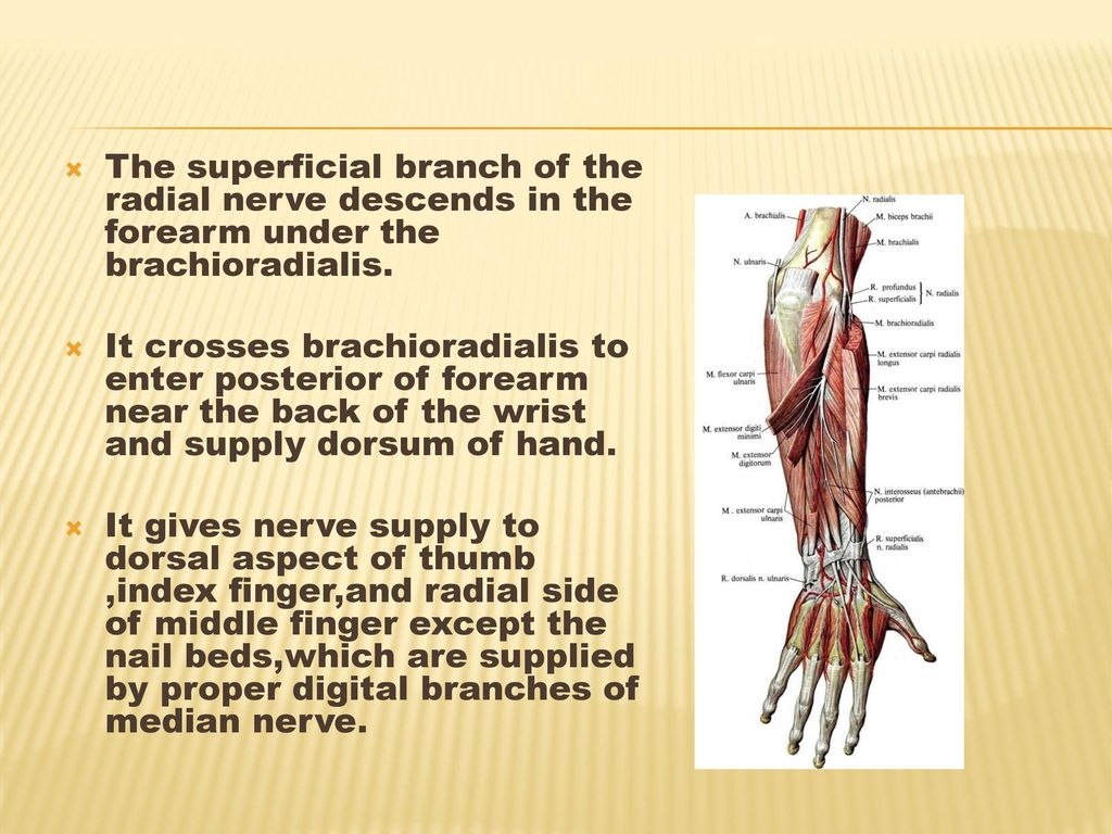 DEEP MUSCLES There are five muscles in the deep compartment of the ...