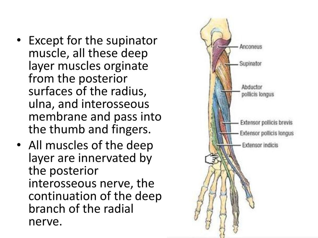 Deep Muscles Of The Posterior Forearm Ppt Download