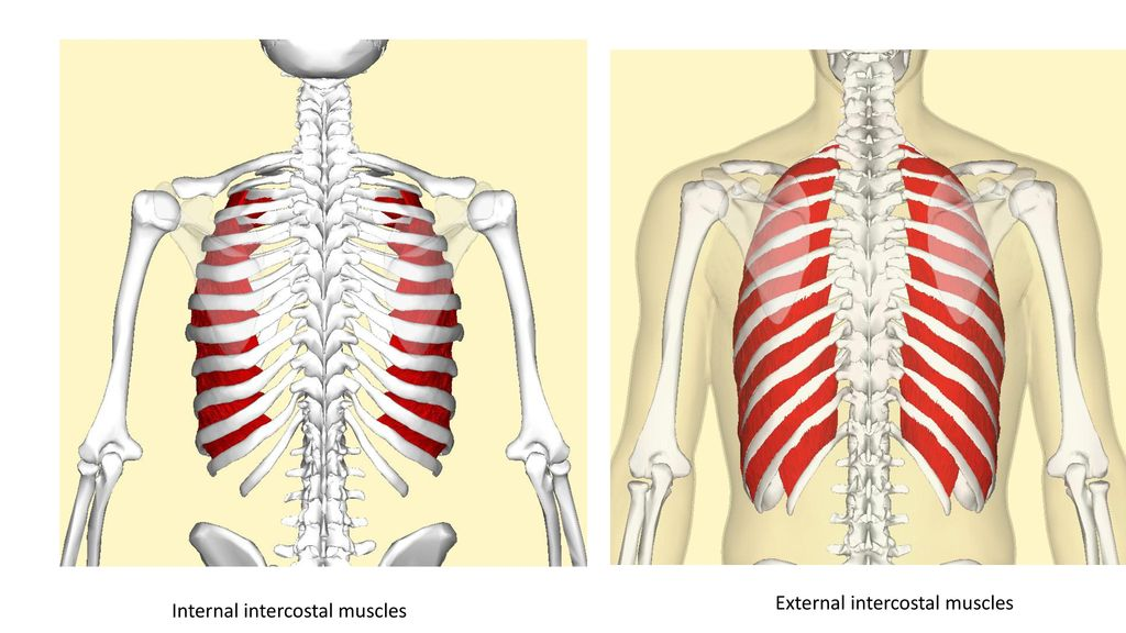 Chapter 6 Skeletal Muscles Part 2 Ppt Download