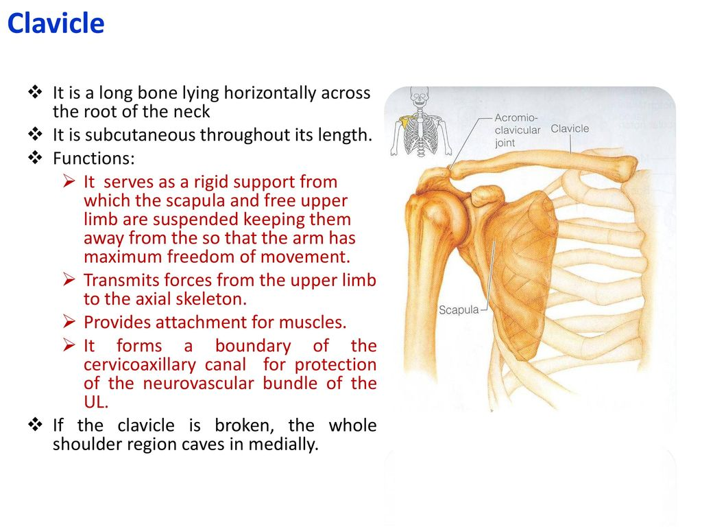 Bones Of The Upper Limb Khaleel Alyahya Phd Ppt Download