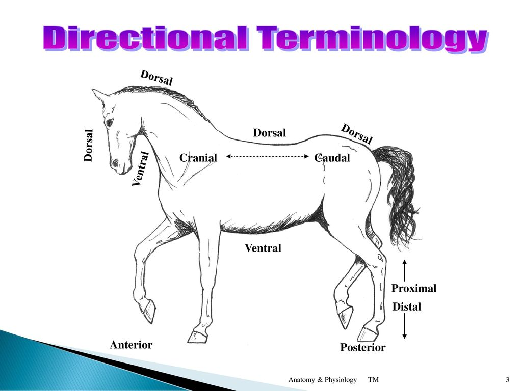 Anatomical Terminology Anterior – front of the animal - ppt download