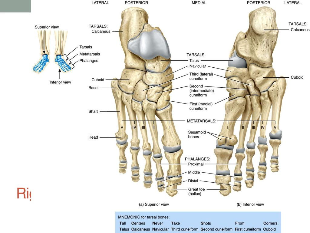Right ulna and radius in relation to the humerus and carpals - ppt ...