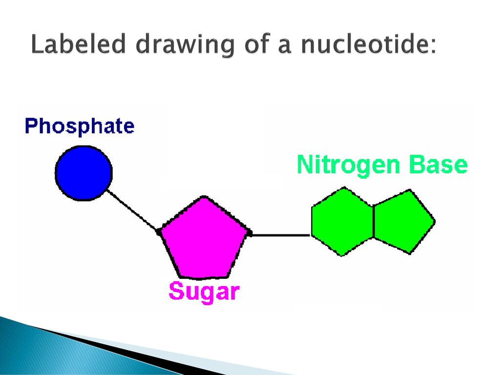 Dna structure dna structure powerpoint 1 chapter ppt download 4 labeled drawing of a nucleotide ccuart Image collections
