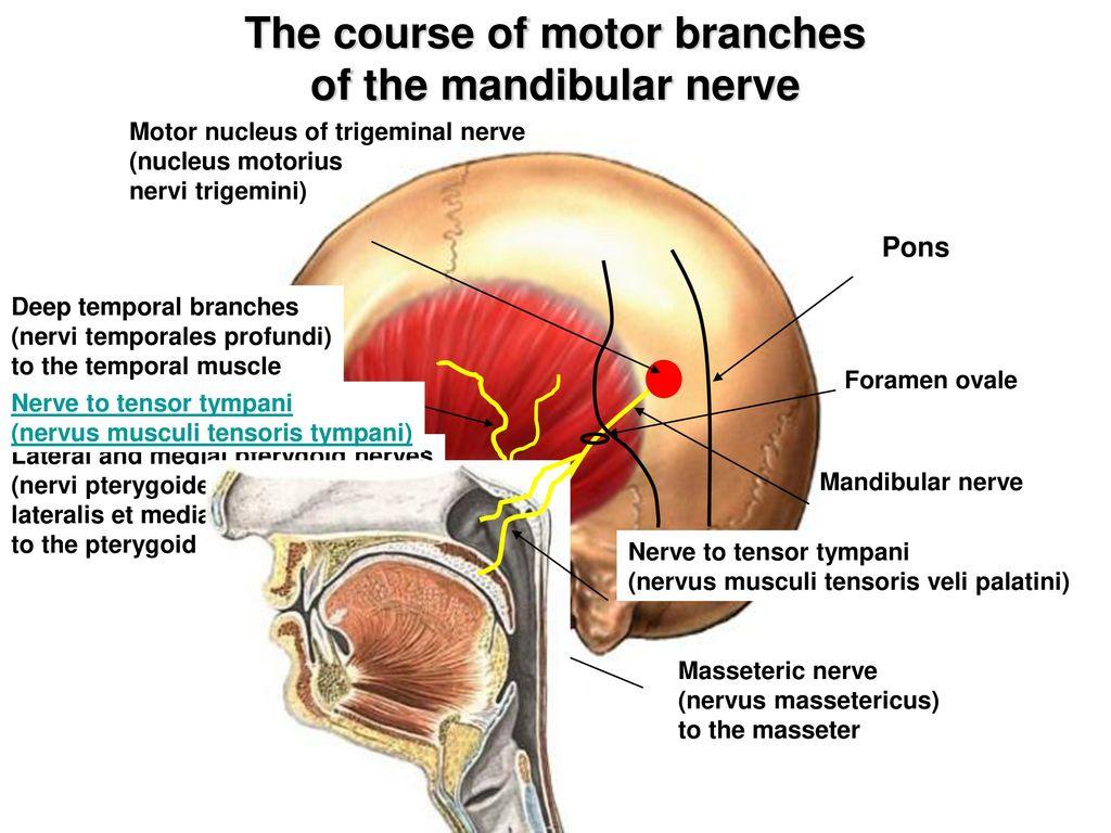 Trigeminal V Cranial Nerve Ppt Download