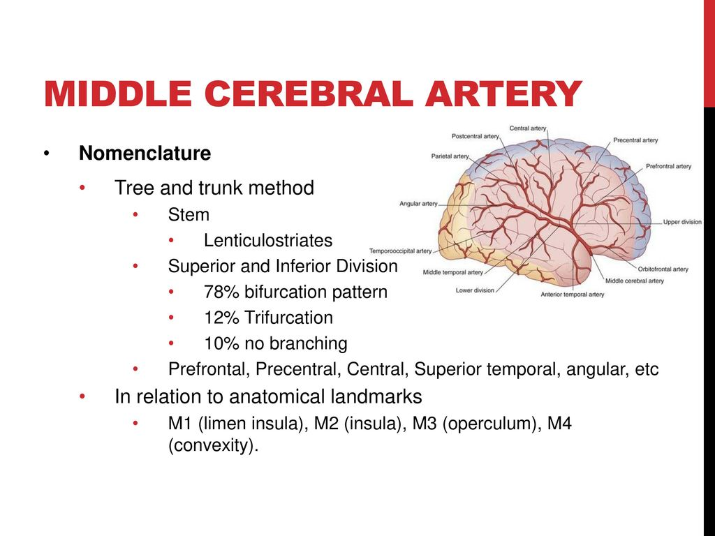 CEREBROVASCULAR ANATOMY - ppt download