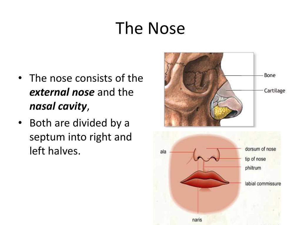 Anatomy Of Nose And Paranasal Sinus Ppt Download