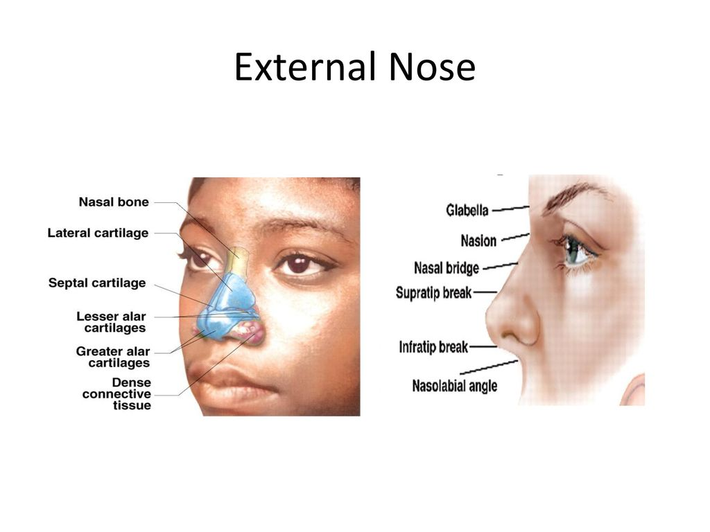 Anatomy of Nose and Paranasal Sinus - ppt download