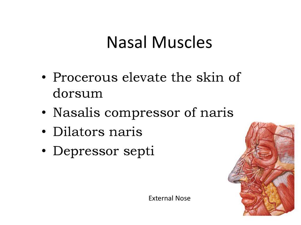 Beautiful Nose Anatomy External Ornament - Anatomy and Physiology ...