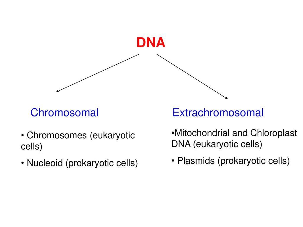Organization Of Prokaryotic Eukaryotic And Viral Genomes Ppt Fimbriae Cell Edition 2 Dna Chromosomal Extrachromosomal Mitochondrial Chloroplast Cells Plasmids