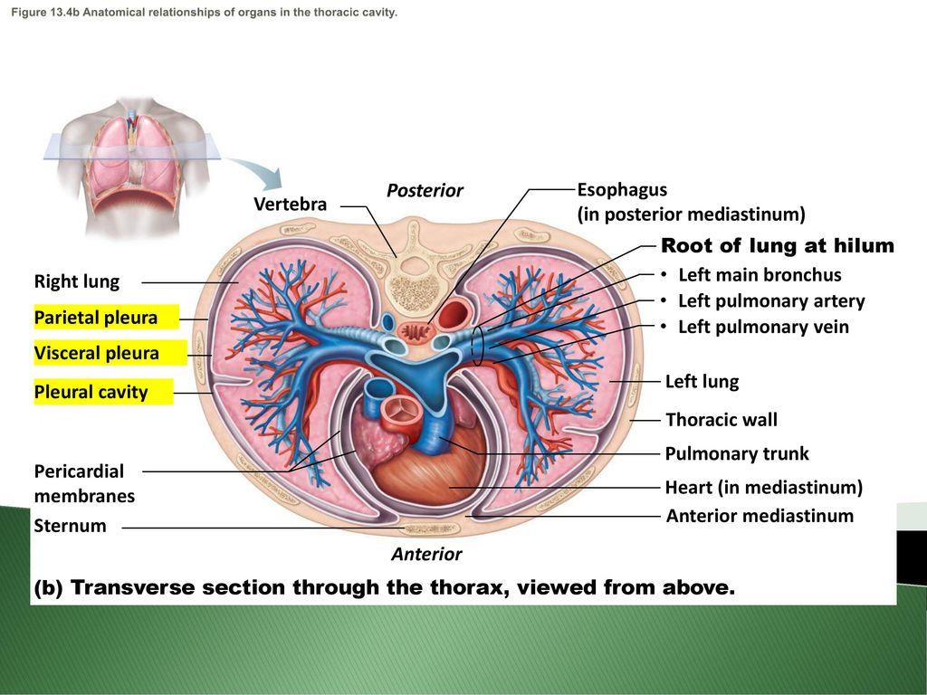 Fancy Lung Hilar Anatomy Festooning - Anatomy and Physiology Tissue ...