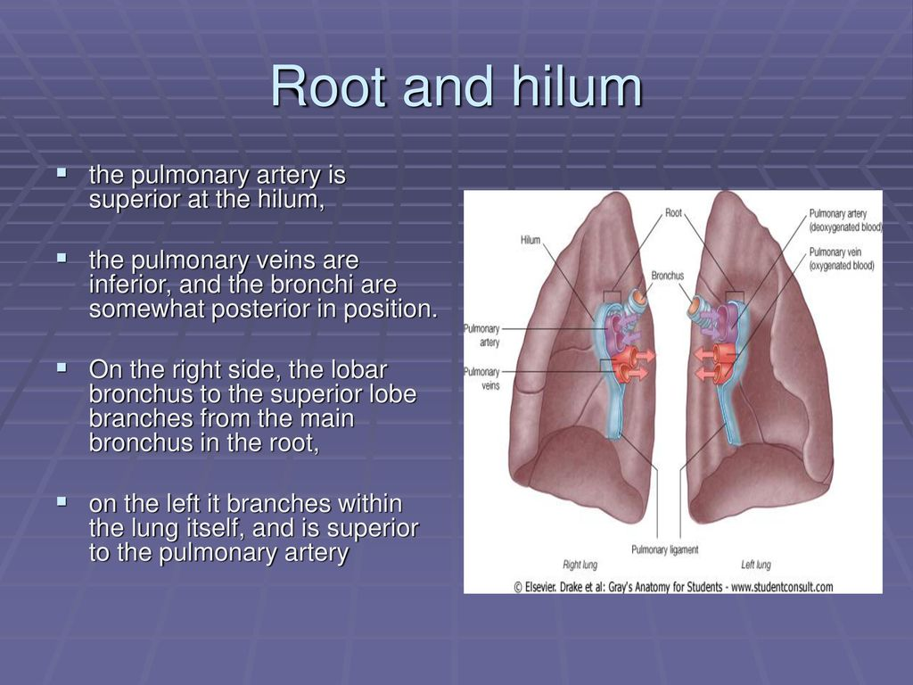 Outstanding Lung Anatomy Hilum Adornment - Anatomy and Physiology ...