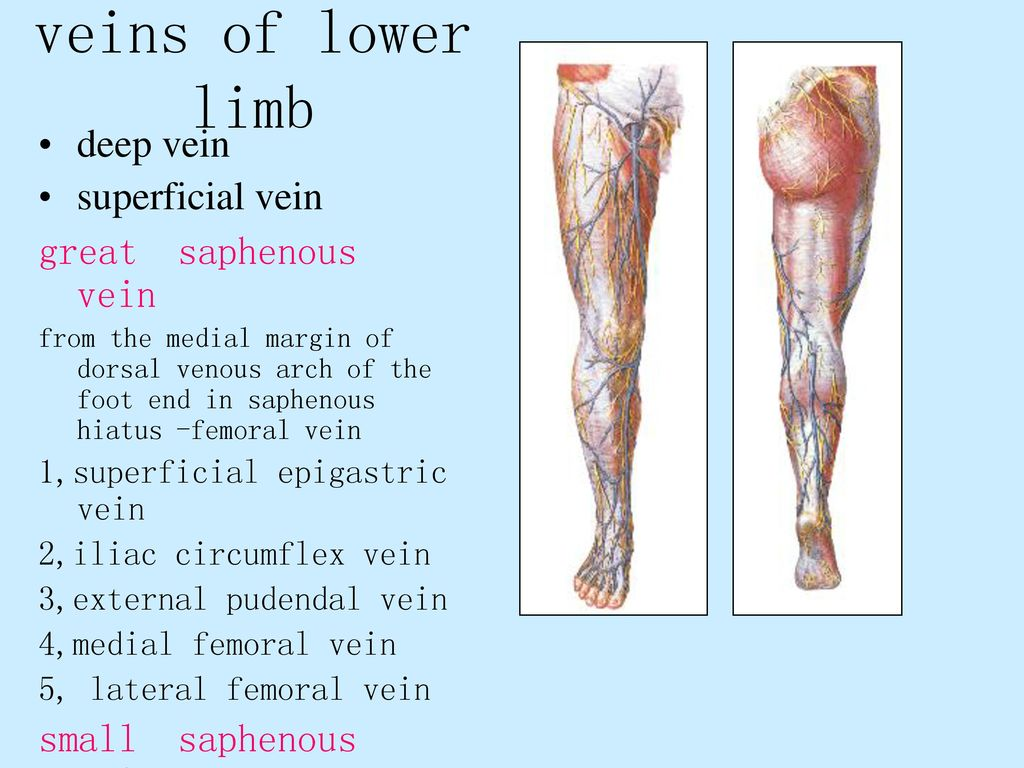 Vein Valves Plexuses Superficial and deep veins Pulmonary veins ...