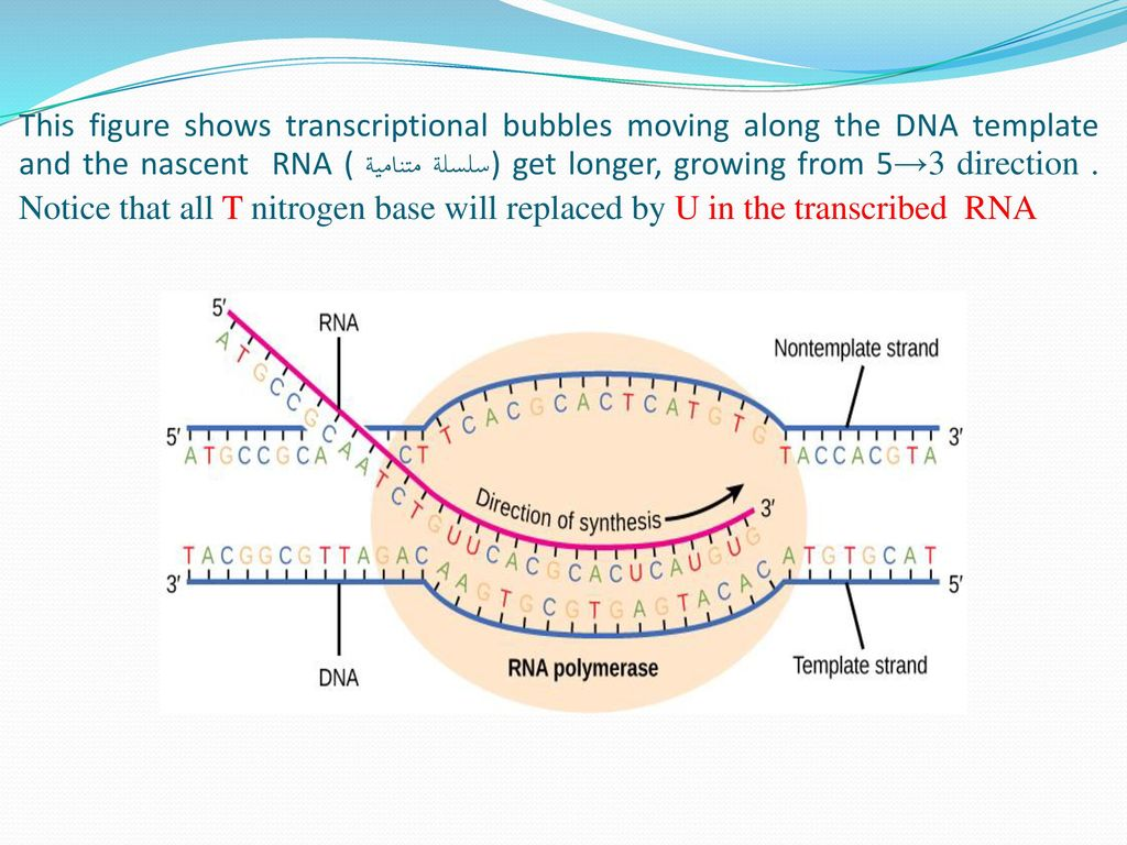 The 12th Lecture In Molecular Biology By Dr Sawsan Sajid Ppt Download