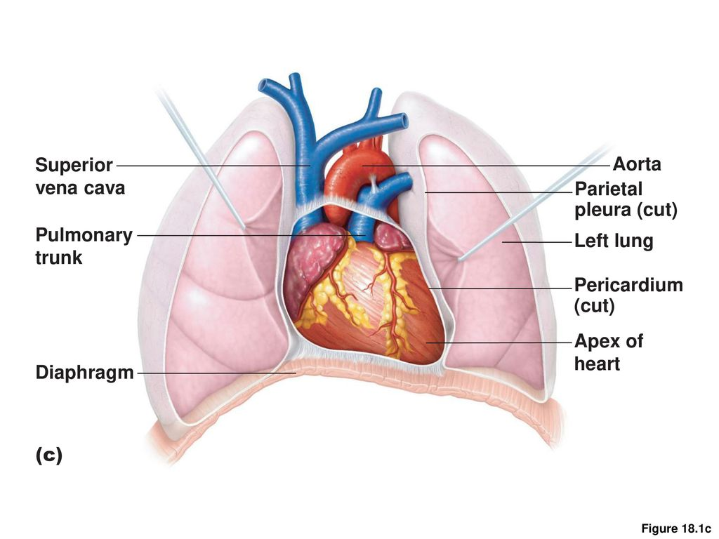 Structure Of The Heart Ppt Video Online Download