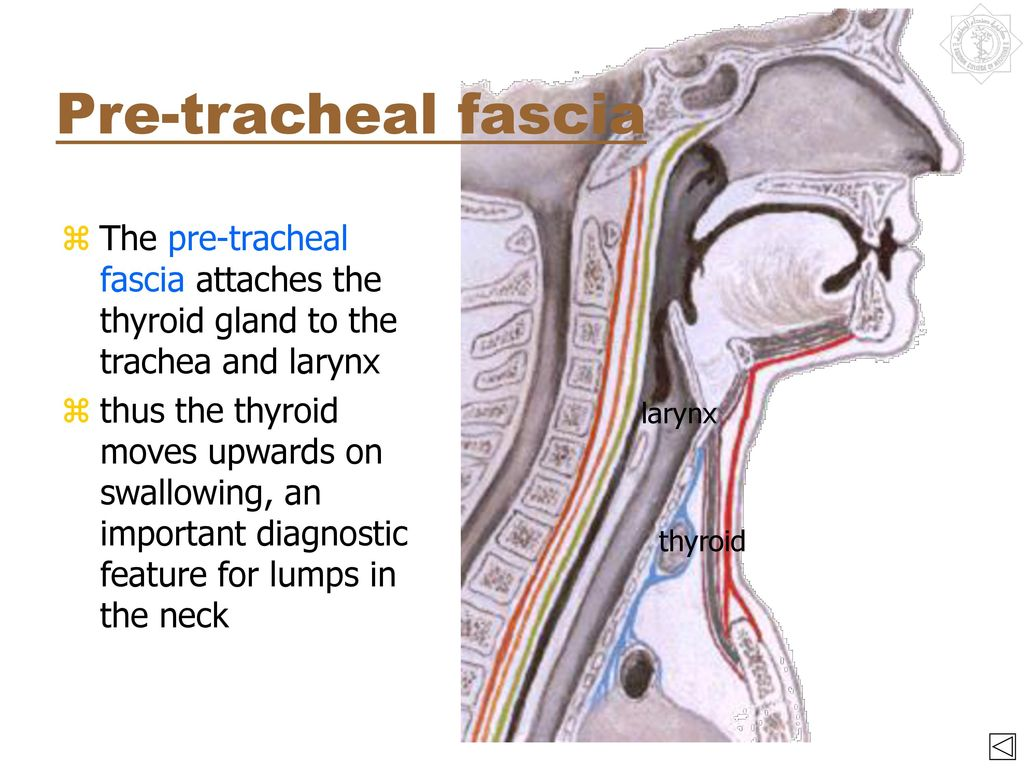The thyroid gland. - ppt download