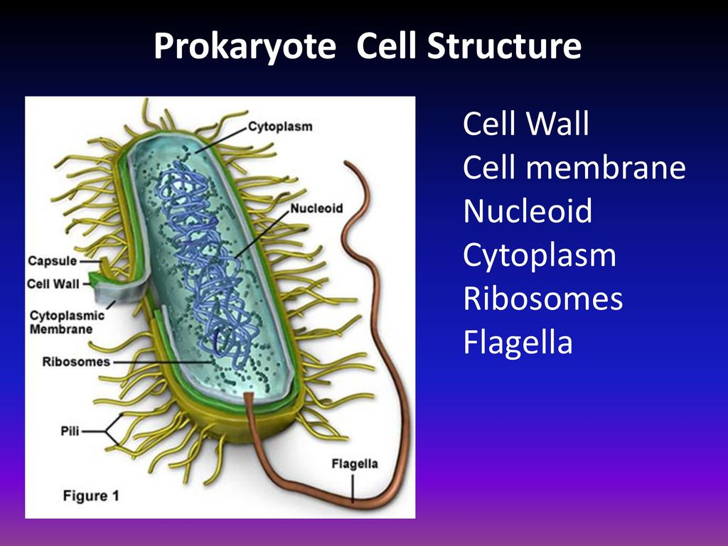Staar Review Cells Human Body Ppt Download Prokaryoticcelljpg 6 Prokaryote Cell Structure