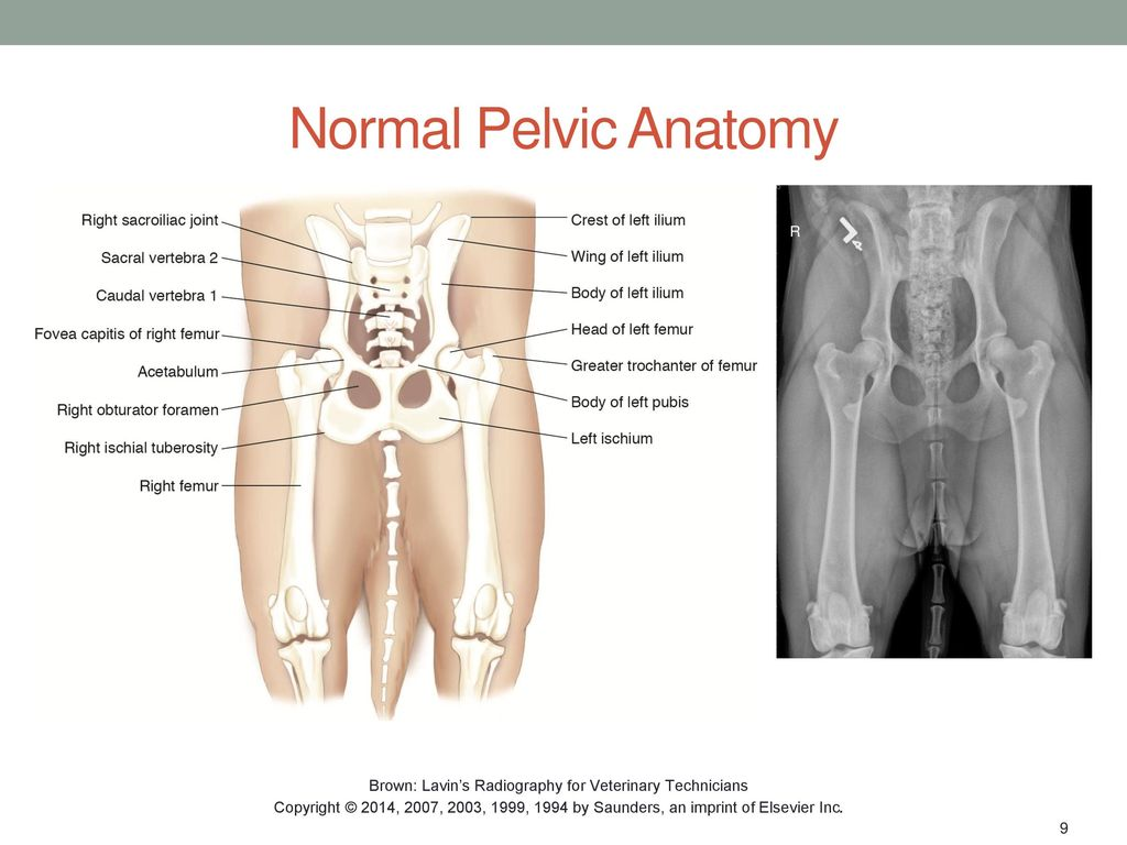 SMALL ANIMAL PELVIS AND PELVIC LIMB Chapter ppt download