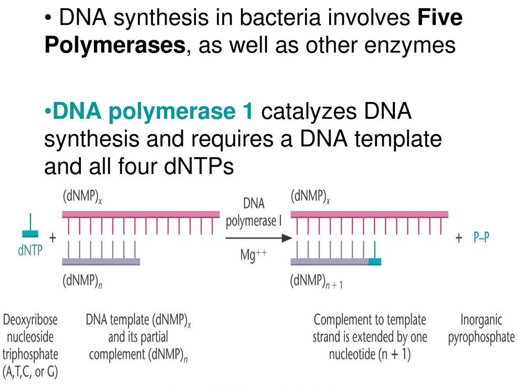 DNA Synthesis DNA Synthesis in General - ppt download