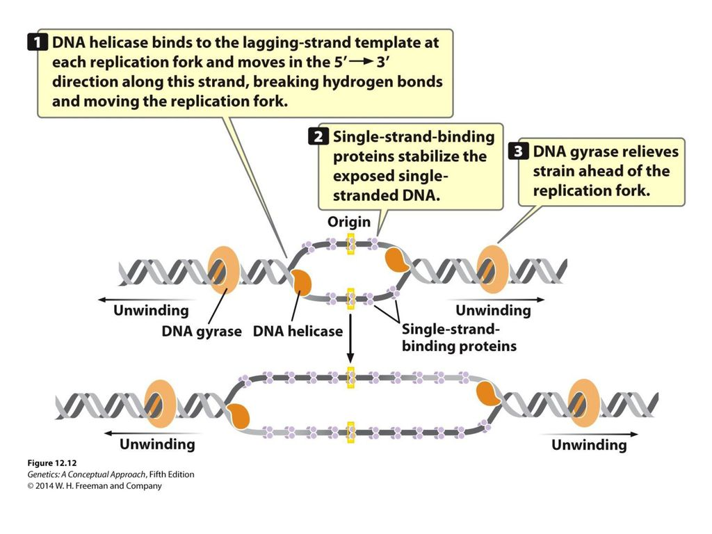 DNA Replication and Recombination - ppt video online download