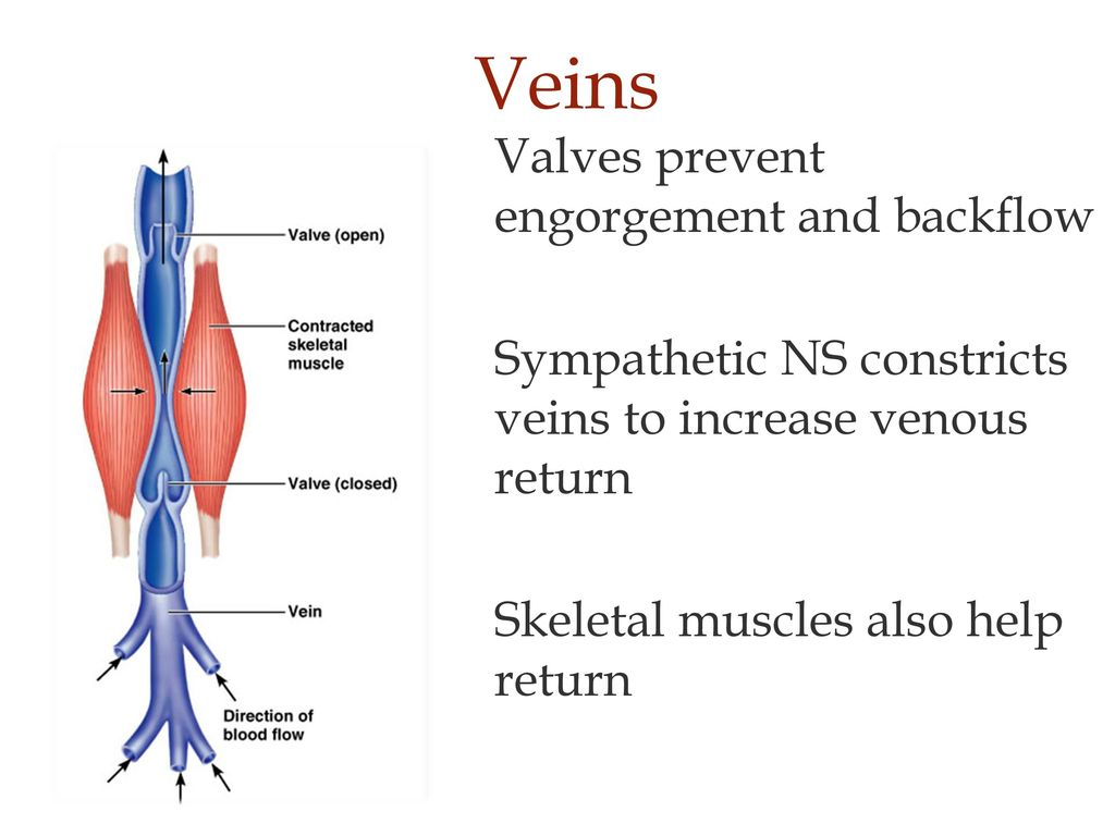 Veins Returning Blood Veins Have Large Radii And Low Resistance
