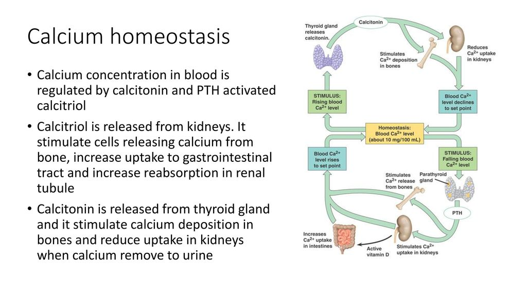 Calcium Homeostasis Ppt Download. 4 Calcium Homeostasis. Wiring. Bones In Calcium Homeostasis Diagram At Scoala.co