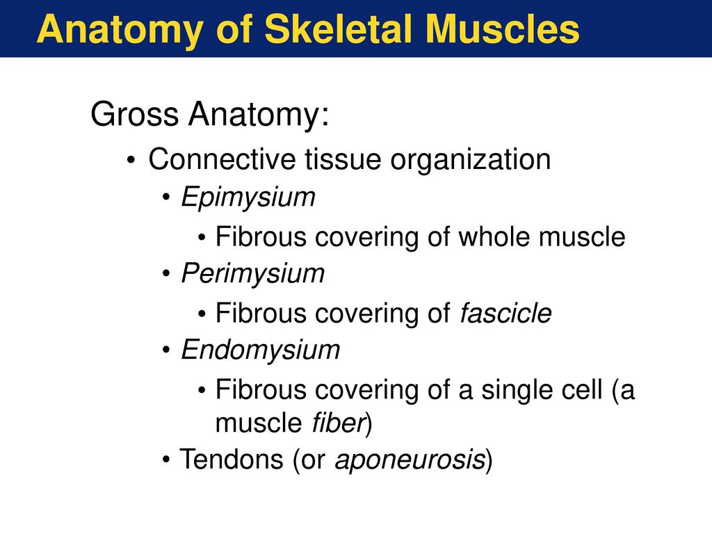 Overview of Muscular System - ppt video online download