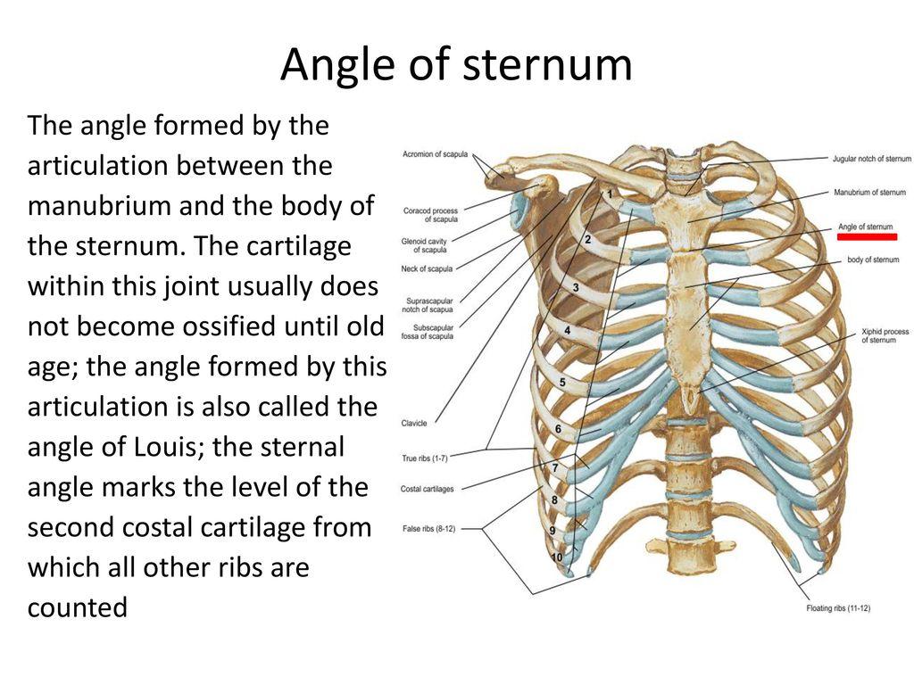 Ribs Anatomy Sternum Golfclub