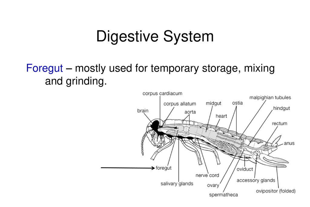 Insect internal anatomy ppt video online download 11 digestive system foregut mostly used for temporary storage mixing and grinding ccuart Image collections