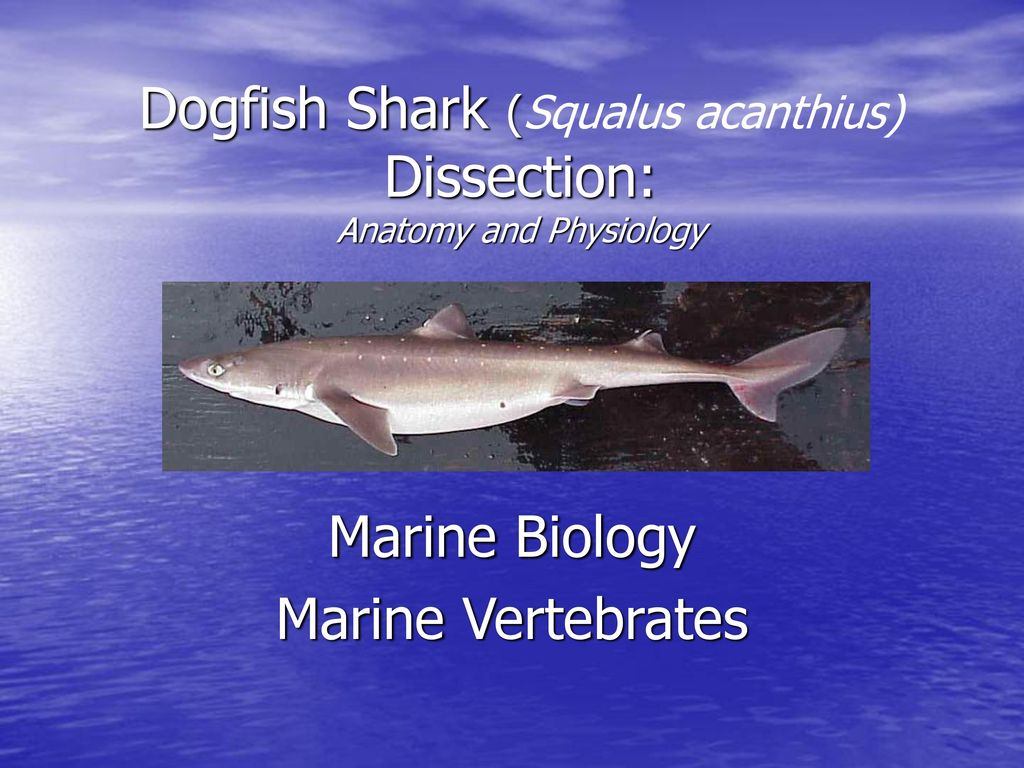 Dogfish Shark (Squalus acanthius) Dissection: Anatomy and Physiology ...