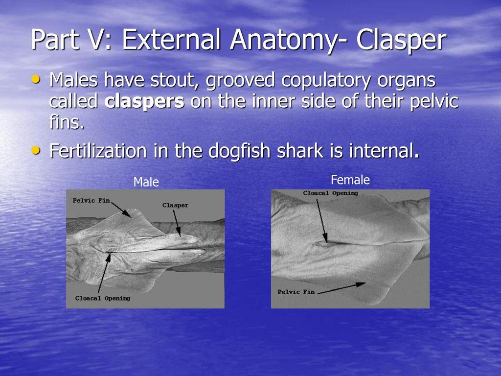 External Anatomy Of A Dogfish Shark - The Largest Shark