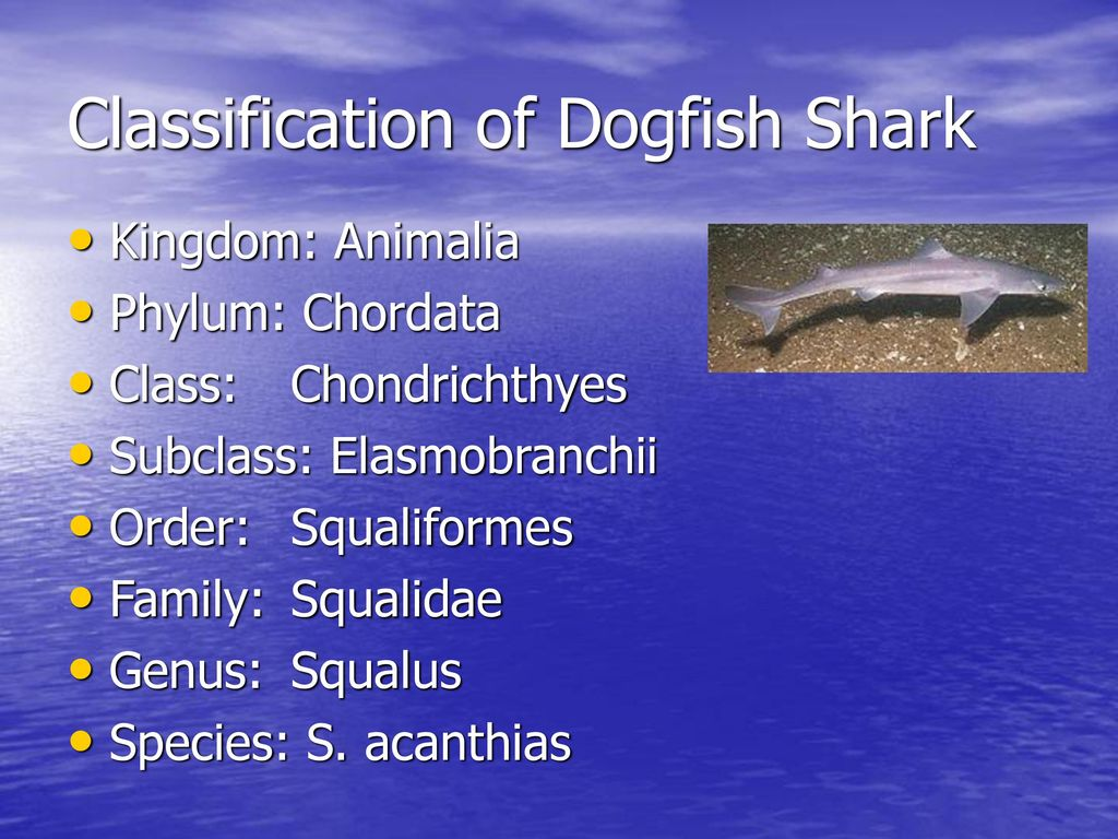 dogfish classification