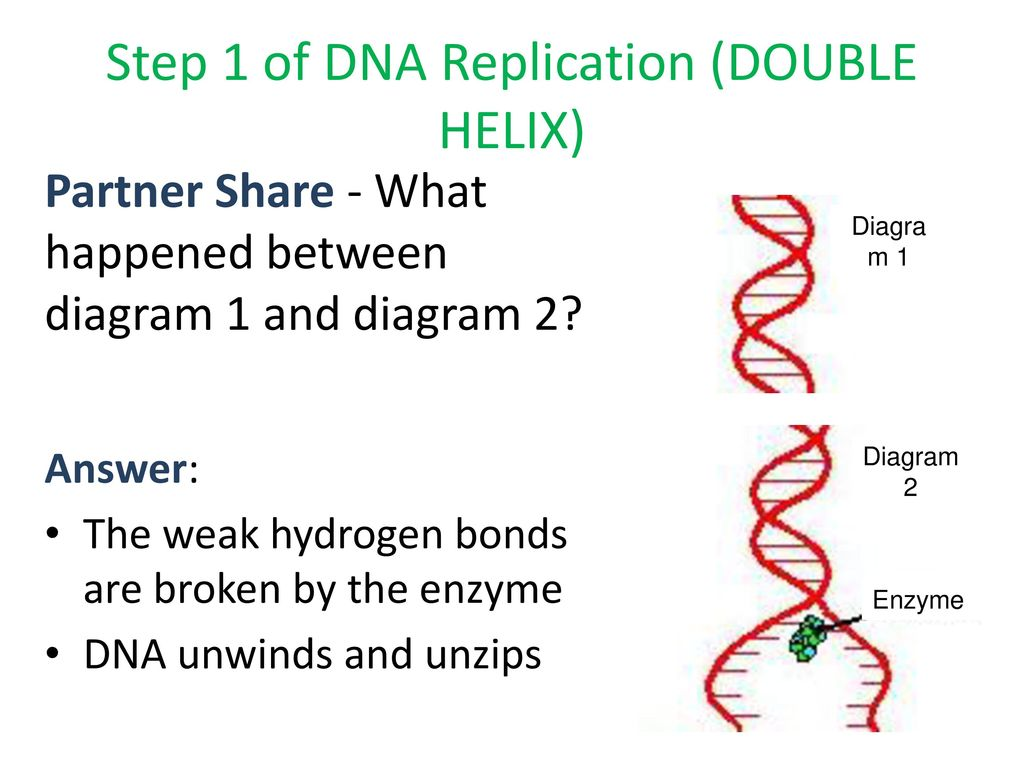 Cell cycle cancer dna structure replication ppt download step 1 of dna replication double helix ccuart Gallery